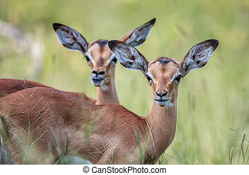 Two baby Impalas starring at the camera. - Two baby Impalas...