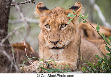 Starring Lion cub in the Kruger. - Starring Lion cub in the...