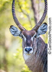 Male Waterbuck starring at the camera. - Male Waterbuck...