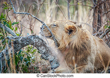 Lion relaxing in the grass.