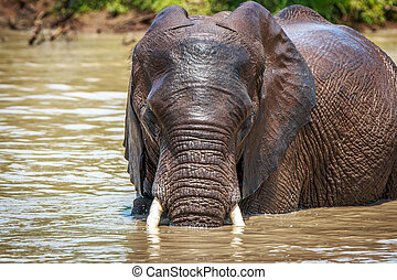 Starring Elephant in the water. - Starring Elephant in the...