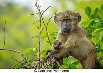 Baby Baboon relaxing in the tree. - Baby Baboon relaxing in...