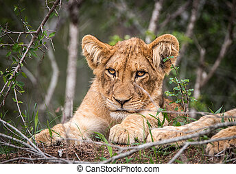 Lion cub starring at the camera. - Starring Lion cub in the...
