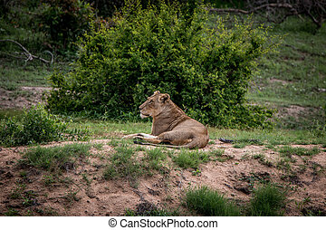 Lioness relaxing in the grass.