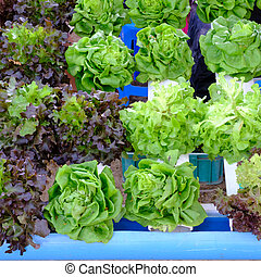 hydroponic salad vegetable.
