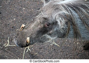 warthog from Africa with curved tusks - warthog from Africa...