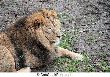 Lion - Asiatic lion close up rare and endagered golden