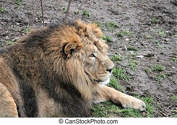 Asiatic lion close up rare and endangered golden