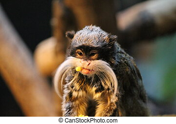 MOnkey - Emperor Tamarin monkey on branch white mustache...