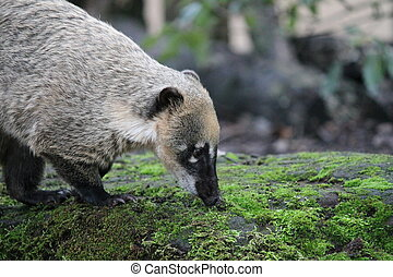 Ring-tailed coati (nasua Nasua) looking for food