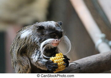 Emperor Tamarin monkey on branch white mustache - Emperor...