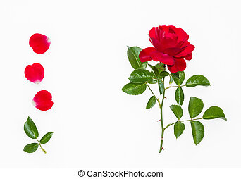 red tea rose with petals on white background