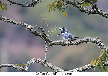 Crested Kingfisher (Megaceryle lugubris) in Japan