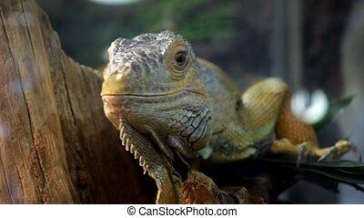 Iguana lizard in enclosure - Close-up of iguana lizard in...