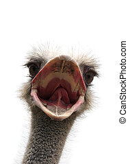 ostrich head isolated