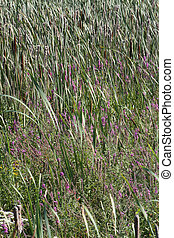 Purple Loosestrife - Purple loosestrife is an invasive, very...