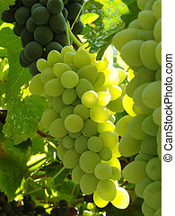 grape clusters - growing grape clusters on the branches...