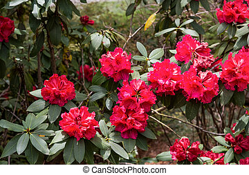 Brilliant Red Rhododendrons in Garden