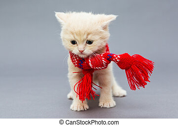 Little kitten in a red scarf - Little kitten British in a...