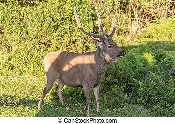 Sri Lanka: deer in Horton Plains National Park - Sri Lanka:...