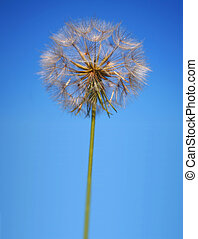 Perfect Statuesque Dandelion Clock - Tall upshot of...