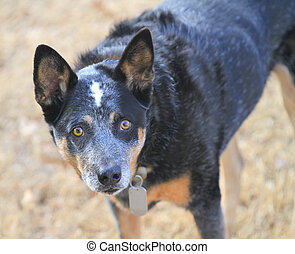 Blue heeler dog in winter grass - Brown grass background...