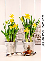 Yellow daffodils in pots - Yellow spring daffodils in pots