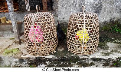 Colored cocks. Bred for fighting are kept in the baskets,...