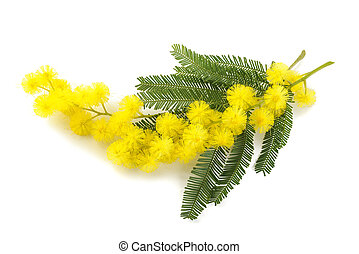 Yellow Mimosa flowers - Mimosa (silver wattle) branch...