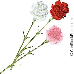 Bouquet of white, pink and red carnations. Isolated
