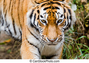 Siberian tiger (Panthera tigris altaica) - Portrait of...