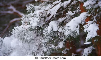 Snow Falling from the Snow-Covered Christmas Tree Branches...