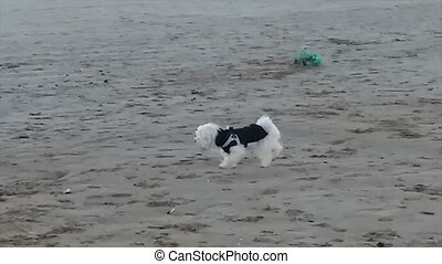 Cute dog, pet running on the beach. Sunset