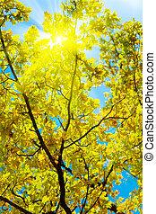 idylliczny, wizerunek, crone, jesień, Dąb, słońce