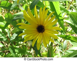 Sunflowers, Helianthus