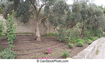 Olive grove with roses - Dirt road along rose bushes and...