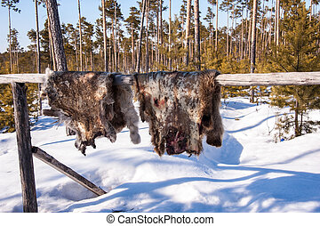 Reindeer pelt drying. - Reindeer pelt with blood spots...