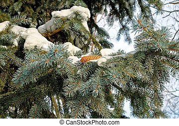 Fir and pine cone in snow - Snow on the branches of two...