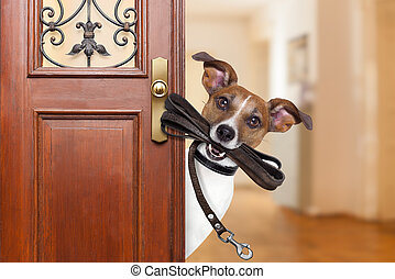 dog leash walk - Jack russell dog waiting a the door at home...