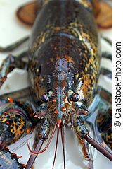 Live Lobster - A fresh live lobster in a tank before it is...