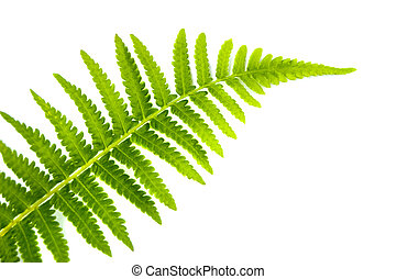 Fern Leaf - Close up fern leaf isolated on white