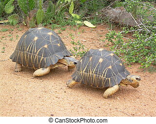 Tortoise Courtship - Radiated Tortoise He After Her