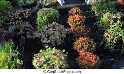 Gardener shows different bushes in gardenhouse 4K.