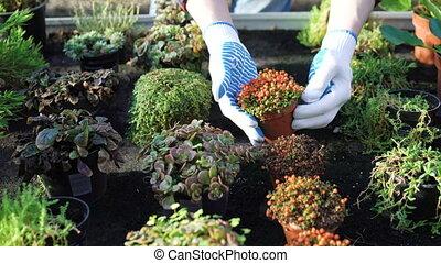 Gardener shows different bushes in gardenhouse