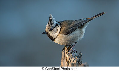 Crest - The Crested Tit (Parus cristatus) with the beautiful...
