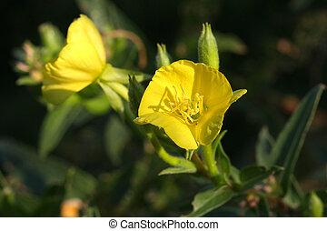 Evening Primrose Flower - Evening Primrose flower onagraceae...