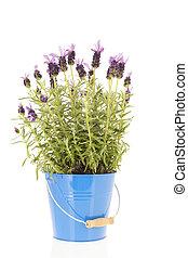 Lavender Stoechas - Lavender stoechas in blue flower pot...
