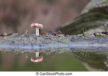 Fly agaric near the water