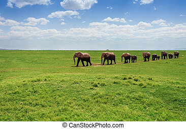 Herd of elephants walking at the African pasture
