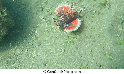 Lionfish pterois on coral reef Bali.